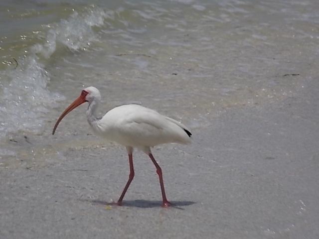 Egret White Ibis 1