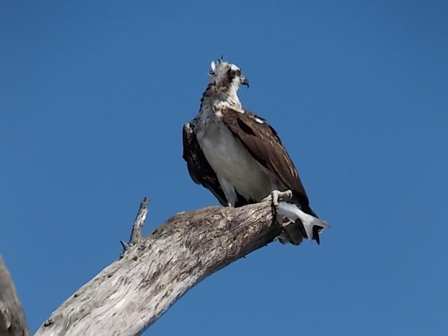 LKSPB Osprey Pic 4