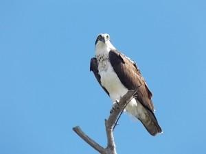 LKSPB Osprey Pic 5