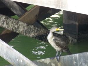 Cormorant Pic 2