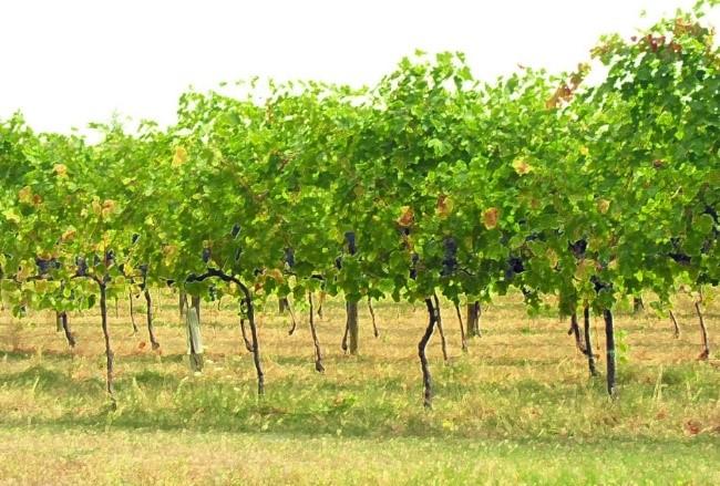 Par 9 Balsamic Tree