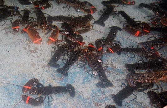 5 Lobsters