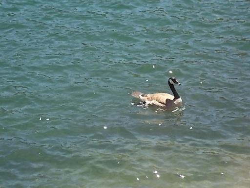 LT water fowl 1