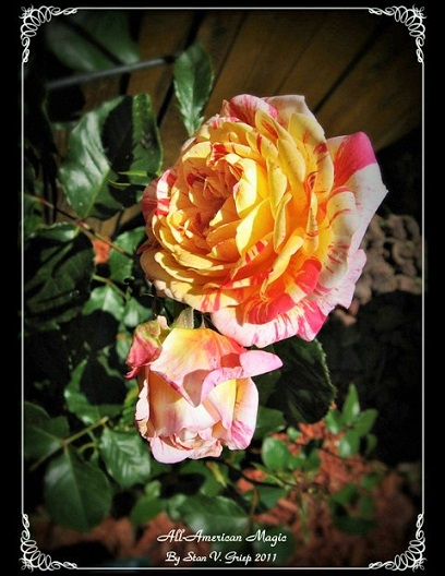 world of roses
