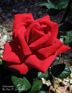 stan griep roses